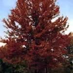 Autumn Blaze Maple
