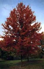 Autum Blaze Maple Tree Arbor Hills Tree Farm