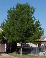 Northern Red Oak Arbor Hills Tree Farm