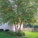 River Birch Arbor Hills Tree Farm
