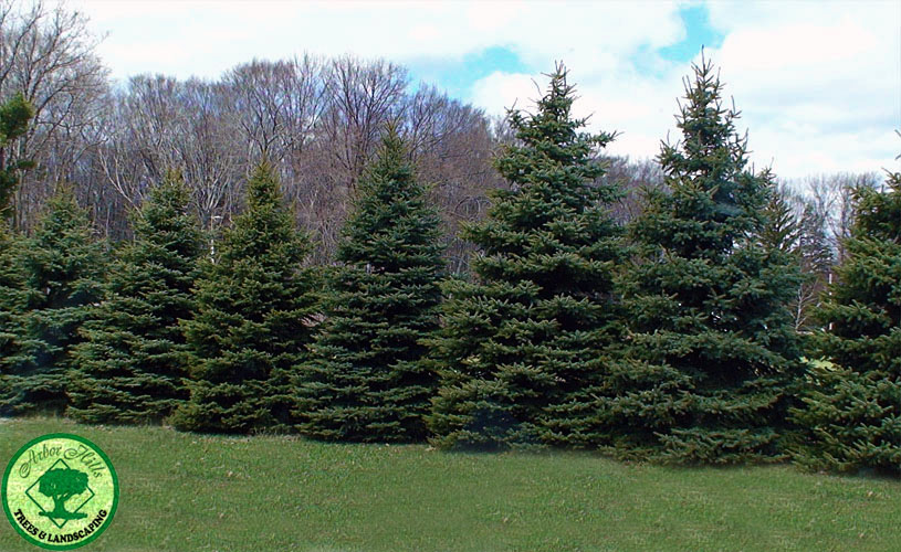 Colorado Blue Spruce Tree Facts