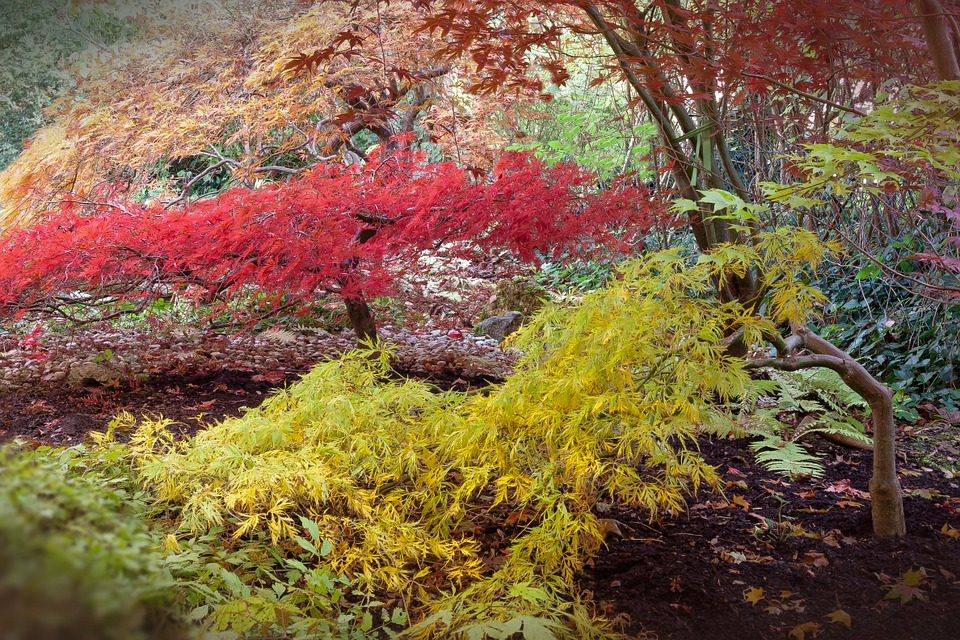 Japanese Maple Trees Information