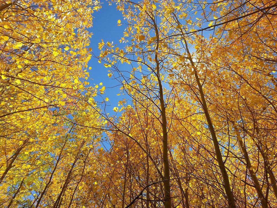 Aspen Trees Facts