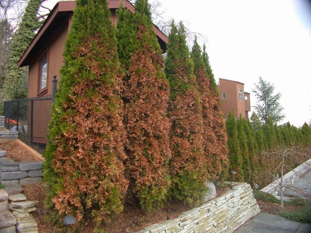 winter damaged cedar