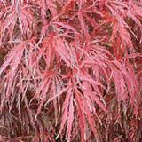 crimson_queen_japanese_maple