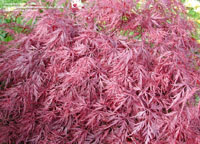 red_dragon_maple