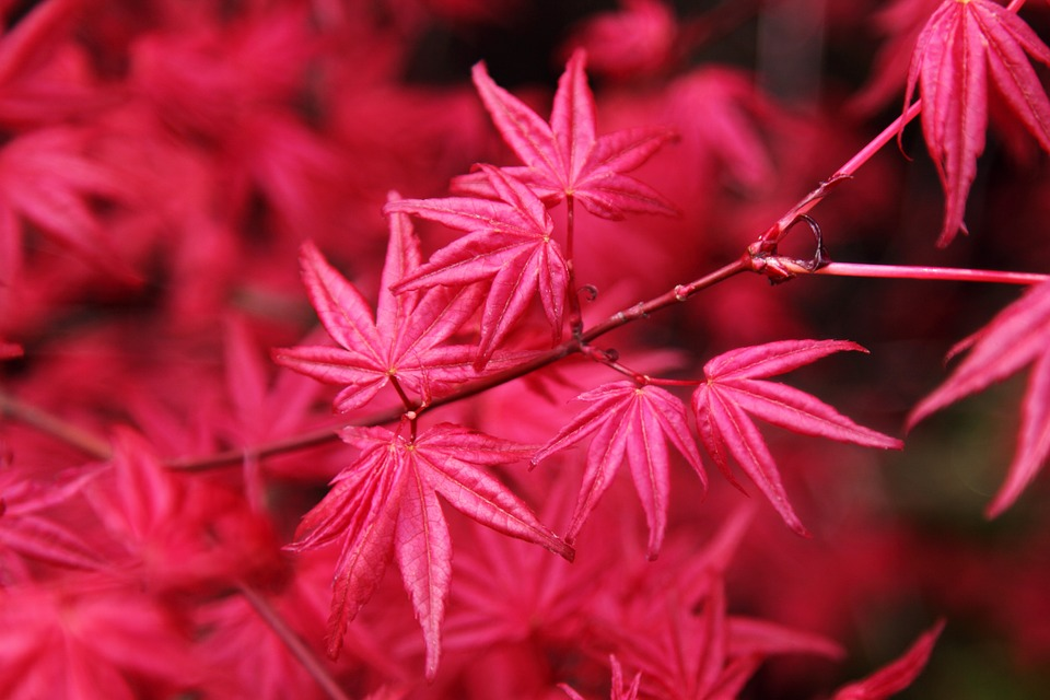 top Japanese maple trees