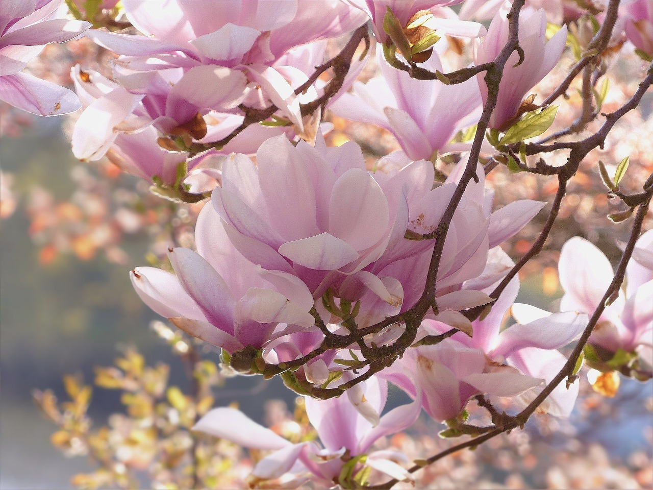 Magnolia Tree Facts