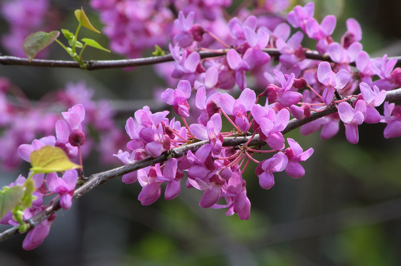 Eastern Redbud Tree Facts & Why to Plant Trees in Fall