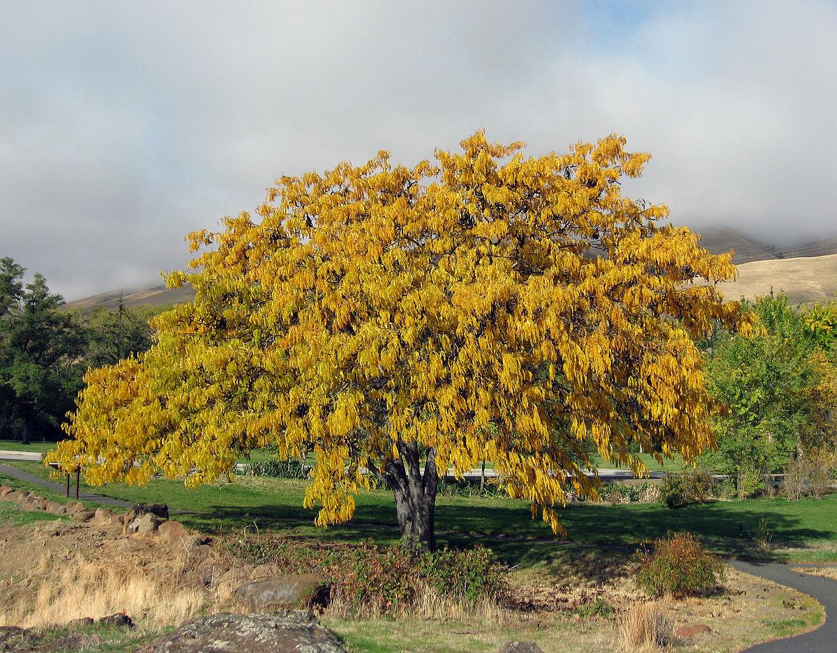 skyline honeylocust tree