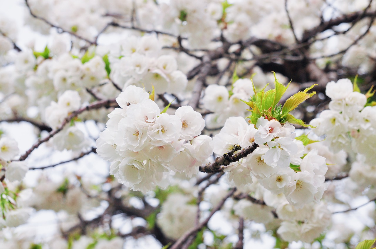 Autumn blooming cherry trees