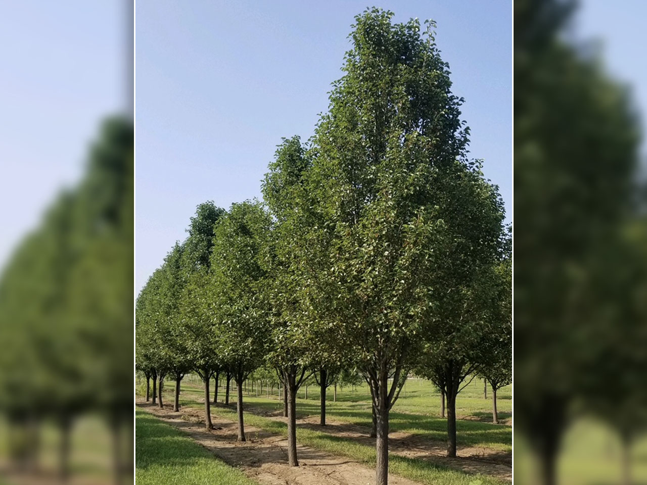 Chanticleer Pear Tree Facts Omaha