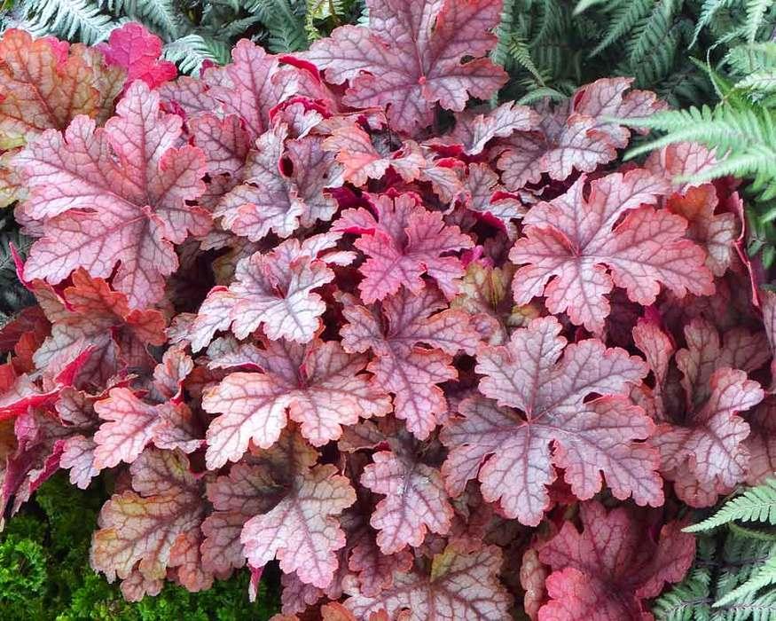 What Is A Heucherella Plant?   Arbor Hills Tree Nursery   Omaha