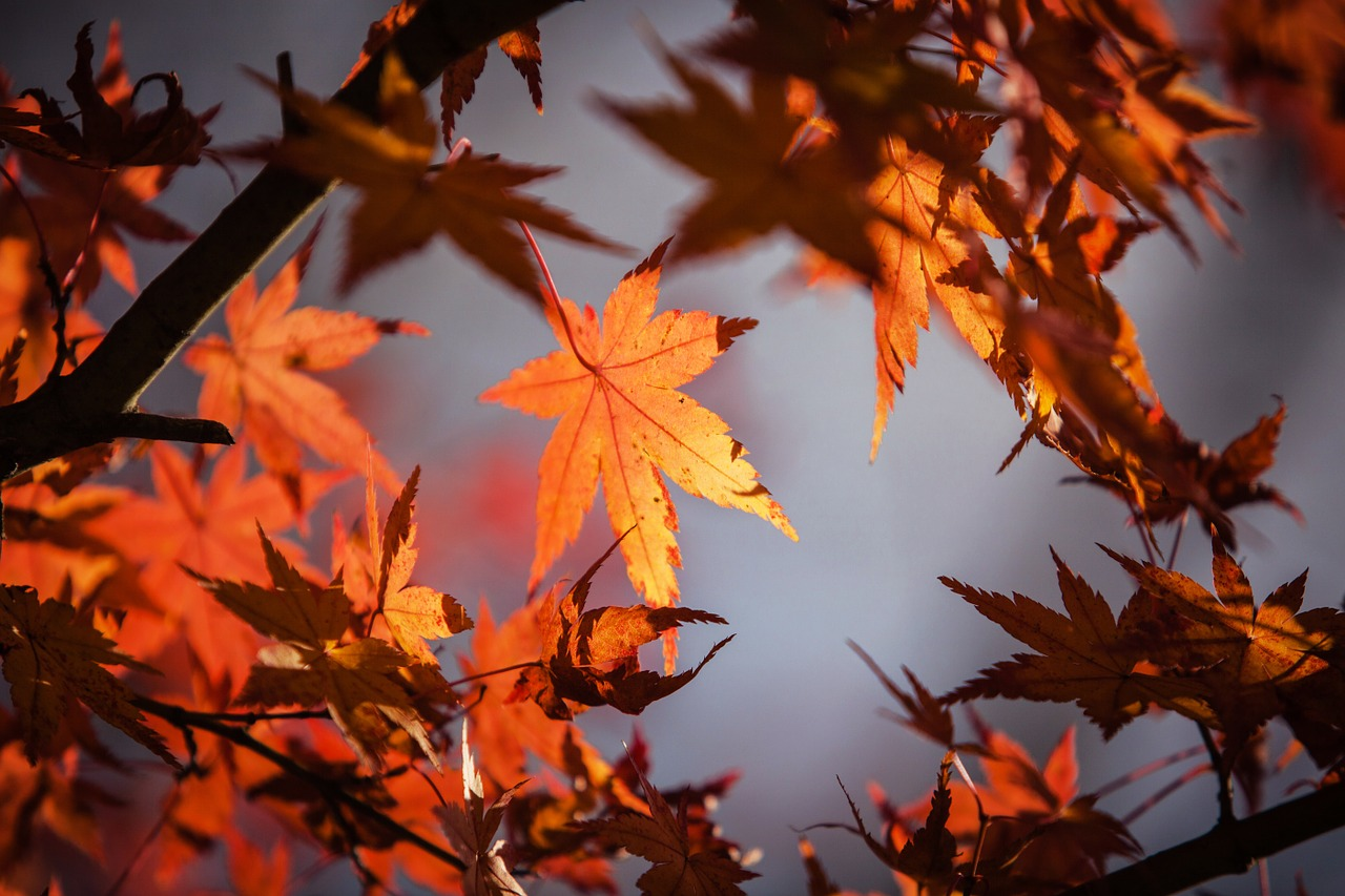 Best Maple Trees for Fall Color i n Omaha