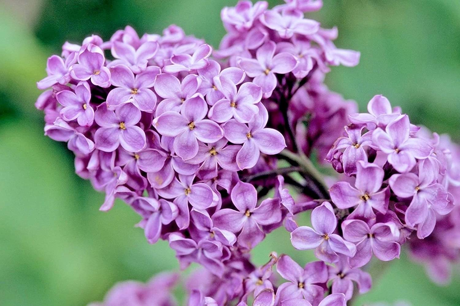 common purple lilac facts
