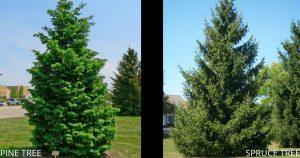 Pine Trees vs Spruce Trees