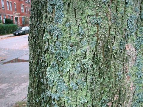 Lichen Trees