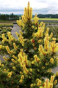 Taylor's Sunburst Pine