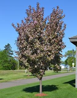 Pink Spire Crabapple tree