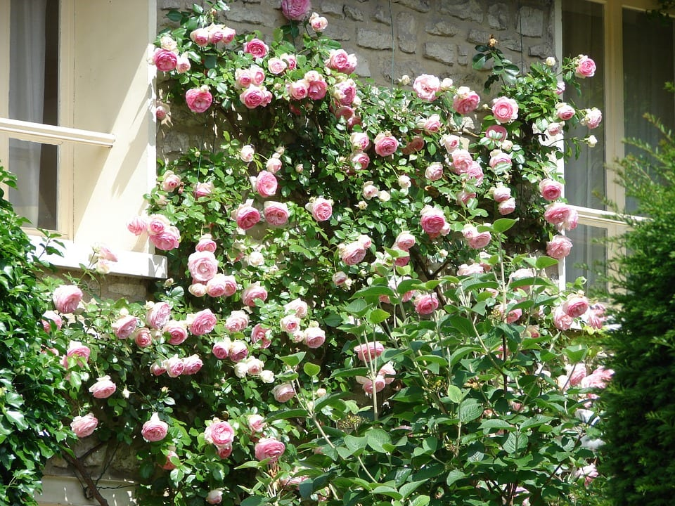 Tips For Growing Climbing Roses Arbor Hill Trees Omaha