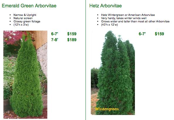 Arborvitae Trees Facts & Care