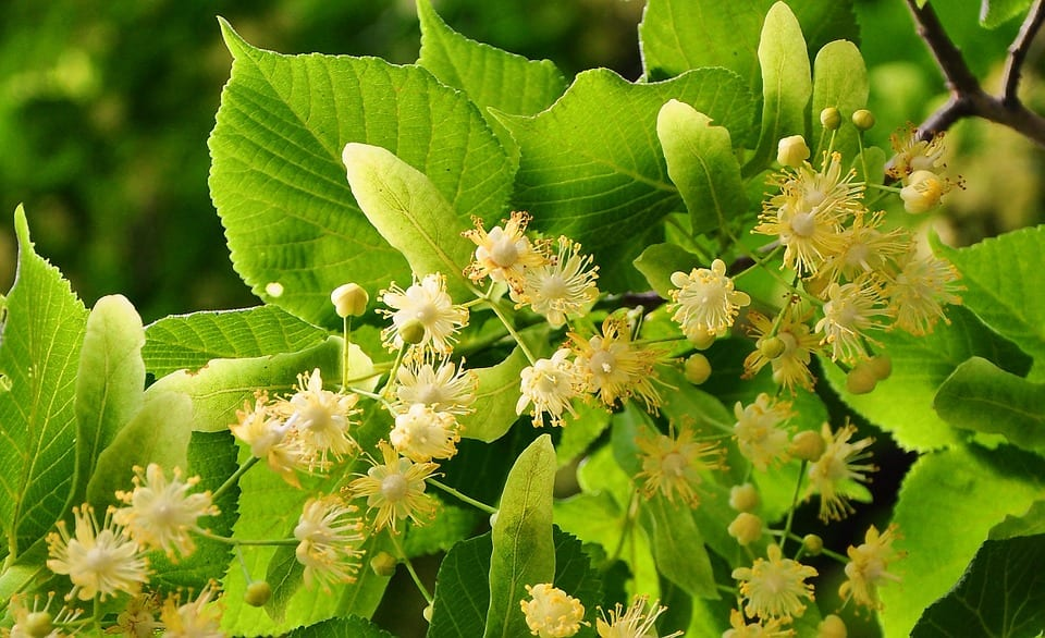 Linden Trees Facts & Care