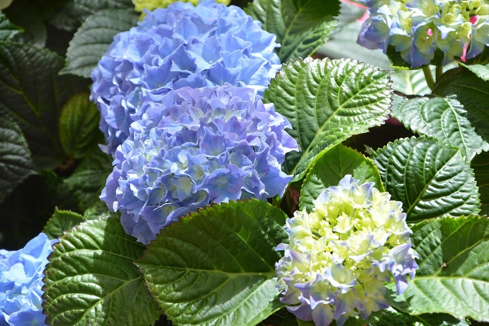 Hydrangeas Perfect Companion Plants