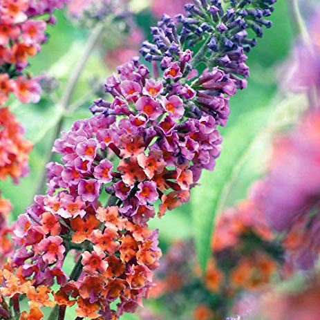 Butterfly Bush BiColor Facts
