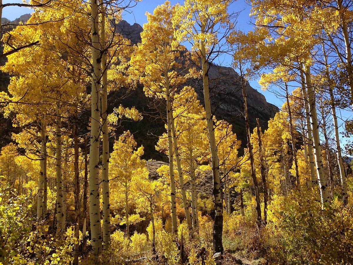Quaking aspen tree facts
