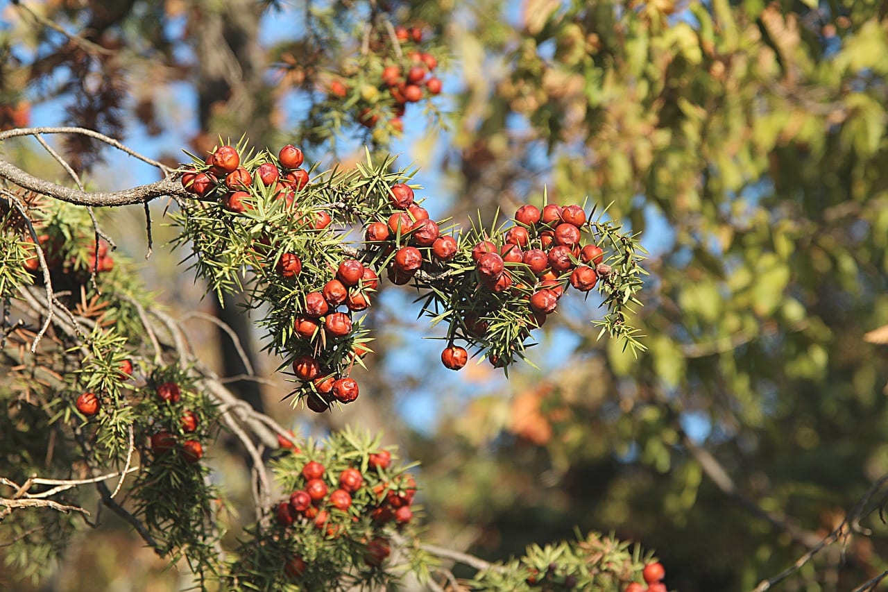 Juniper Tree facts & Care