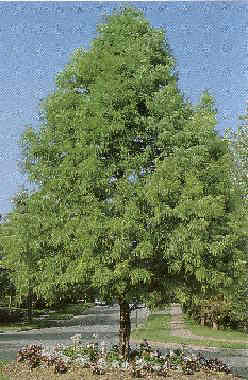 Fine-textured deciduous tree Valued for its tolerance for both dry and wet soils (50'h x 30'w)
