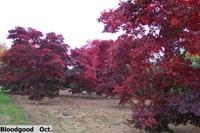 Bloodgood Maple Tree