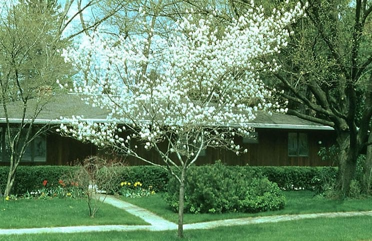 Brilliance Serviceberry Tree