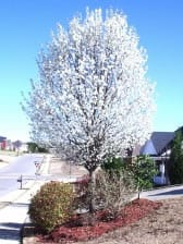 Chanticleer Pear tree