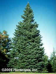 Concolor White Fir Tree