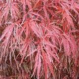 Crimson Queen Maple Tree