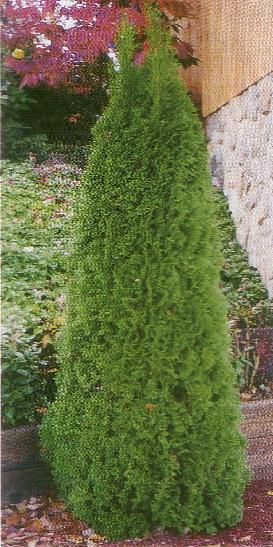 Emerald Green Arborvitae Tree