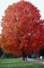 Fall Fiesta Sugar Maple Tree
