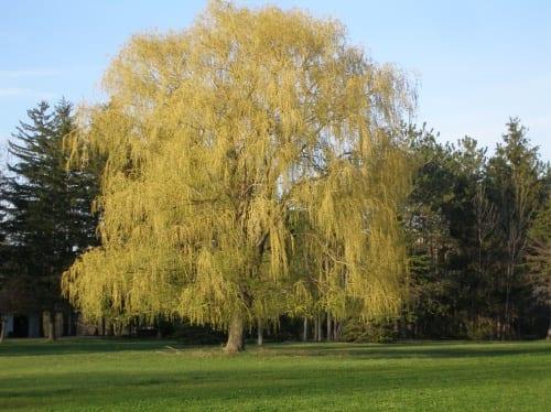 Golden Niobe Willow Tree Sale