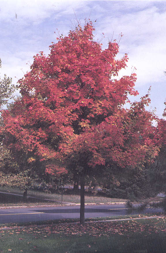 Green Mountain Sugar Maple Tree