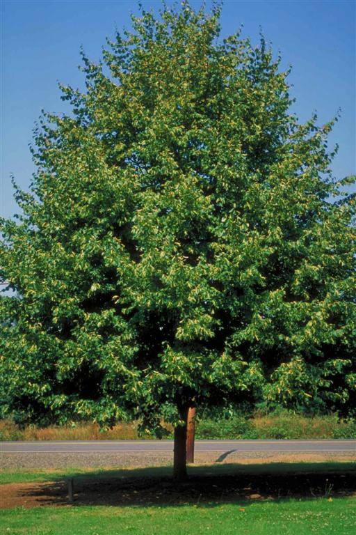Greenspire Linden Tree Sale Omaha & Elkhorn, NE