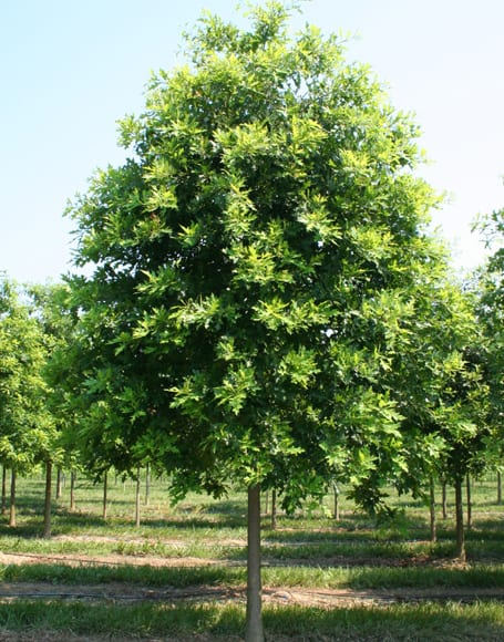 Heritage Oak Tree Sale Omaha & Elkhorn, NE