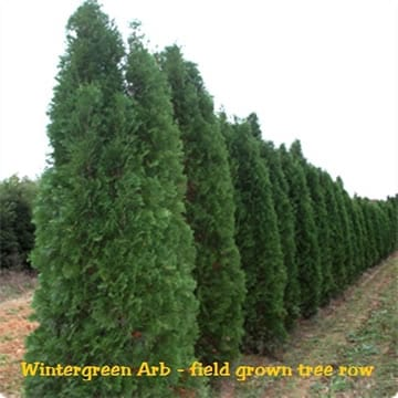 Hetz Arborvitae Tree Sale Omaha & Elkhorn