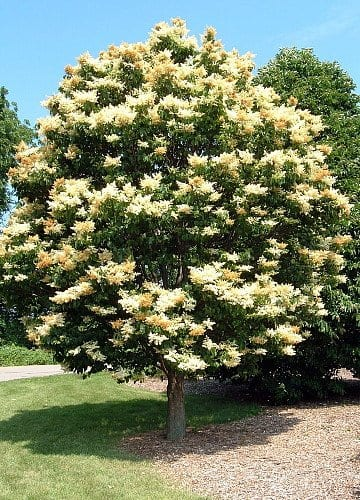 Ivory Silk Lilac Tree Sale in Omaha & Elkhorn, NE
