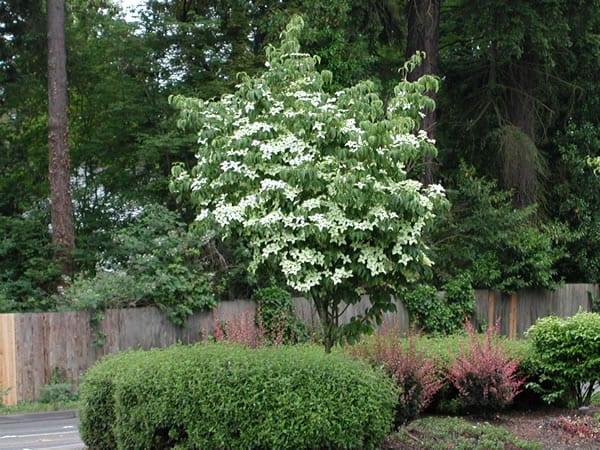 Kousa Dogwood Tree Sale Omaha & Elkhorn Arbor Hills Tree Farm