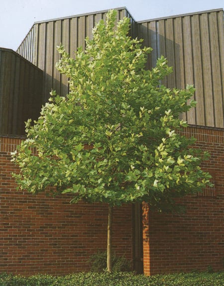 London Plane Tree Sale