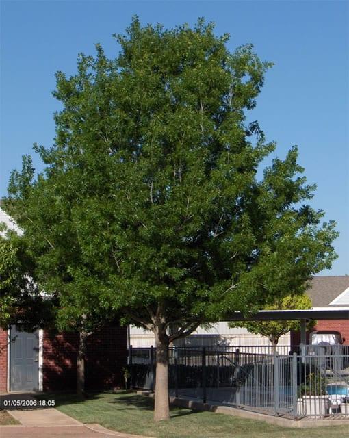 Northern Red Oak Tree Sale