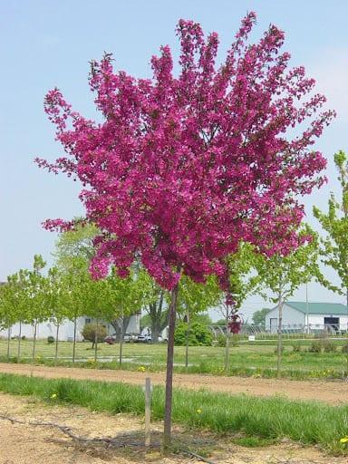 Prairiefire Crabapple Tree Sale Omaha & Elkhorn, NE