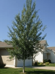 Quaking Aspen Tree Sale