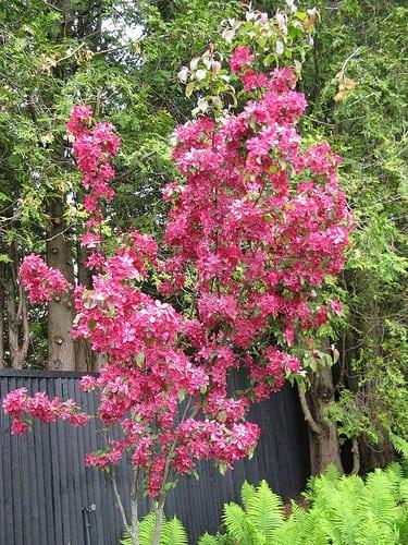 Red Baron Flowering Crabapple Tree Sale